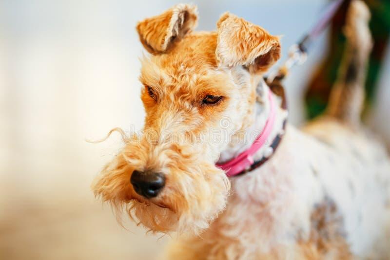 Draadfox-terrier royalty-vrije stock fotografie