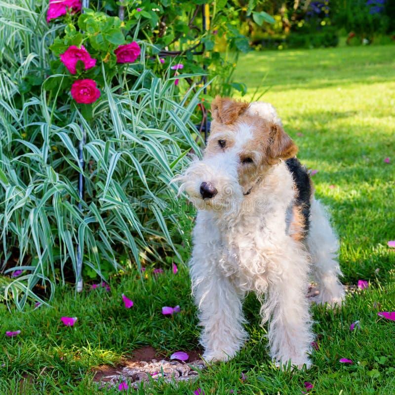 Draadfox-terrier stock afbeeldingen