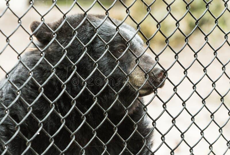 Draag achter de tralies in een dierentuin stock afbeelding