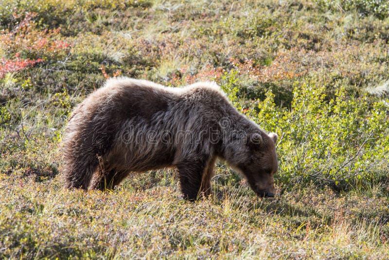 Draag in Alaska royalty-vrije stock foto's