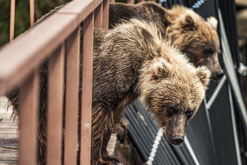 Draag in Kamchatka bruin draag in brug in Kamchatka, Rusland royalty-vrije stock fotografie