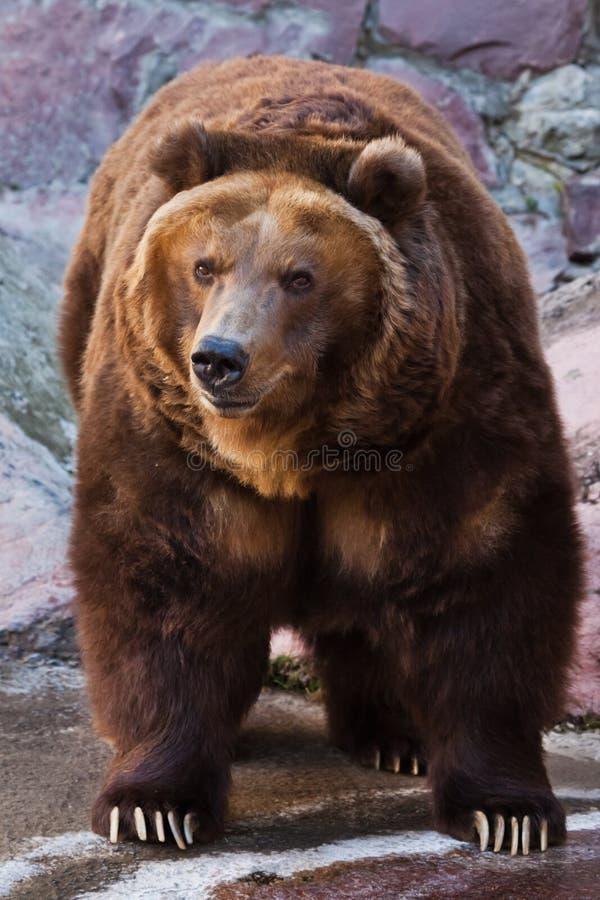 Draag let op Reusachtige krachtige bruin draagt close-up, sterk dier op een steenachtergrond stock afbeelding