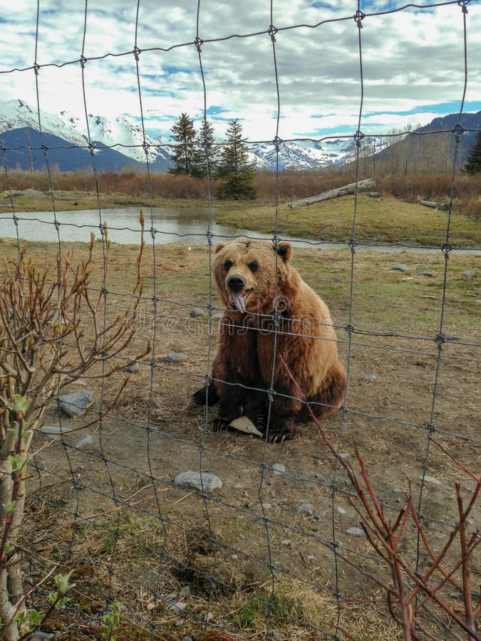 Bear die uit Tong tikt stock afbeeldingen