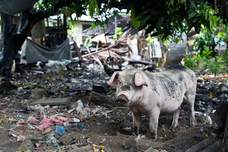 Draagstoel en een varken stock foto's