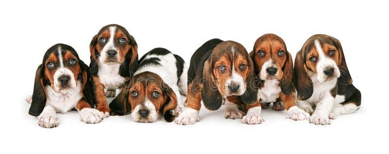 Draagstoel van Basset de Puppy van de Hond stock foto's