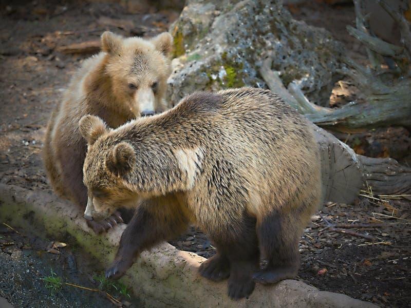 DRAAGT in dierentuin-Beren zijn carnivoranzoogdieren van de familie Ursidae royalty-vrije stock afbeelding