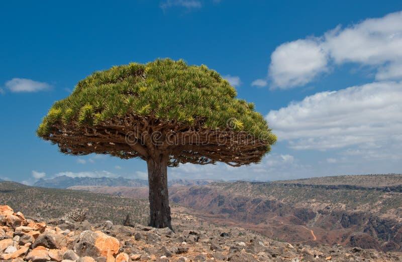 Draakbomen bij Dixam-plateau, Socotra-Eiland, Yemen royalty-vrije stock foto's