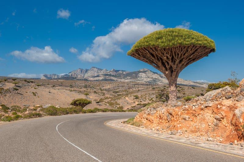 Draakbomen bij Dixam-plateau, Socotra-Eiland, Yemen stock fotografie