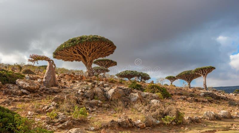 Draakbomen bij Dixam-plateau, Socotra-Eiland, Yemen stock foto