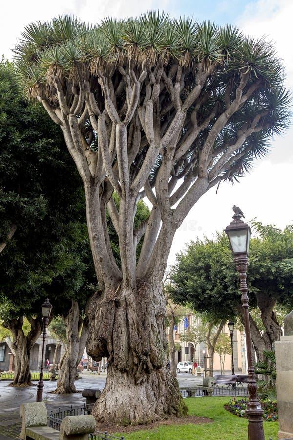 Draakboom in een tuin in Santa Cruz, in Tenerife, Canarische Eilanden, Spanje royalty-vrije stock afbeelding