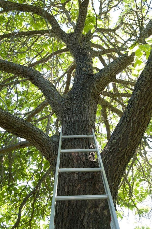 drabinowy drzewo zdjęcia royalty free