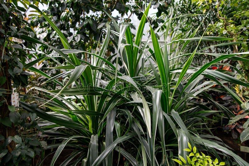 Dracaena för trädgårdlövverkväxt Deremensis - Warneckeii Gemensamt namn - randig Dracaena, draketräd, familjAsparagaceae royaltyfri foto