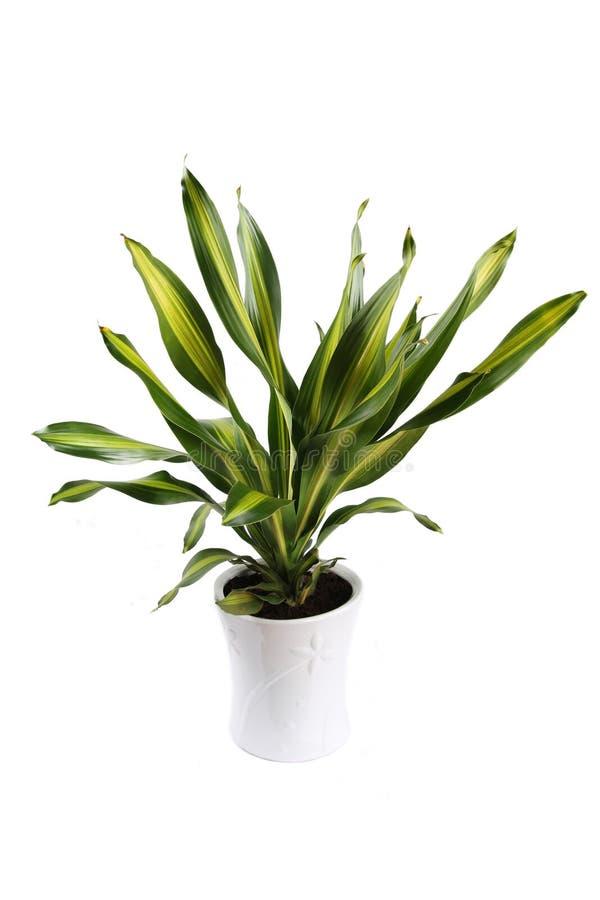 dracaena fragrans στοκ εικόνα με δικαίωμα ελεύθερης χρήσης