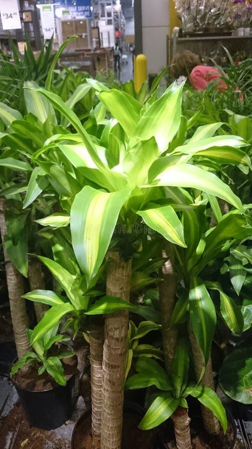 Dracaena fragrans massangeana corn plant stock image image of thick potsnn 51771729 - Suitable indoor plants ...