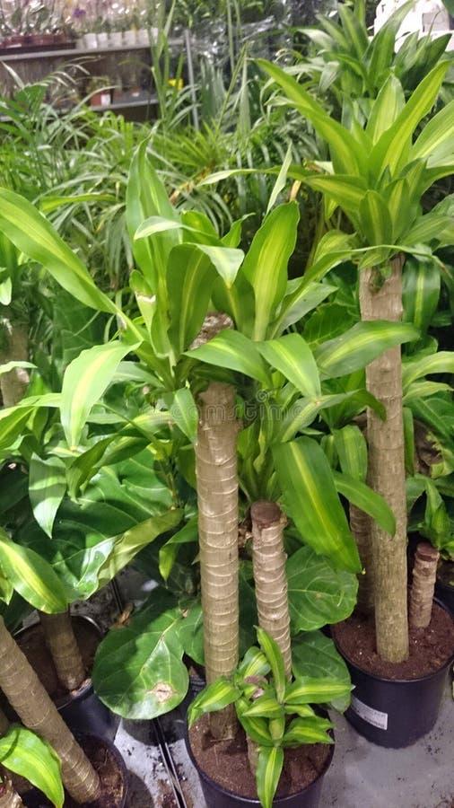 Dracaena fragrans Massangeana, kukurydzana roślina obrazy stock