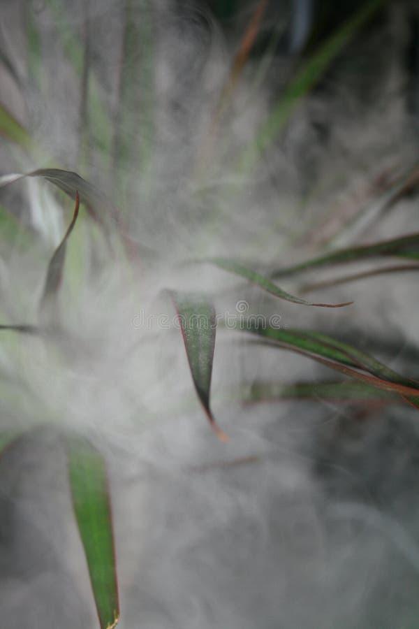 Dracaena in fumo fotografia stock libera da diritti