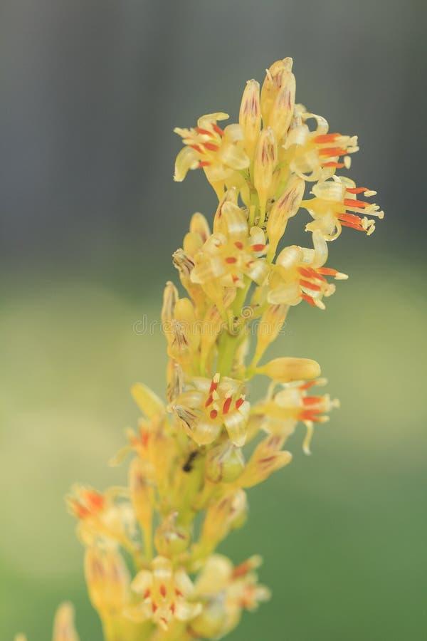 Dracaena Loureiri Gagnep. Flower in garden stock photo
