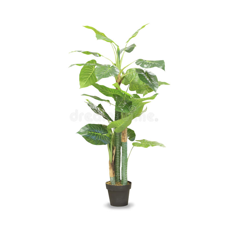 Free Dracaena Palm In A Pot Isolated Over White Stock Photo - 81204980