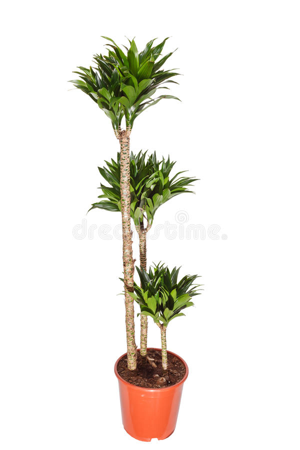 Free Dracaena Plant Royalty Free Stock Photography - 17295247