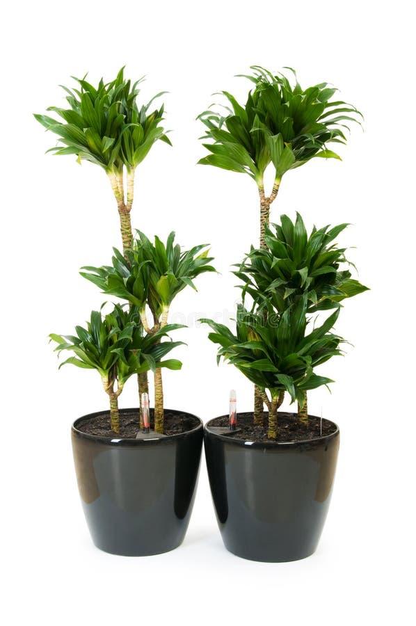 Download Dracaena plant isolated stock photo. Image of dracaenaceae - 14946134