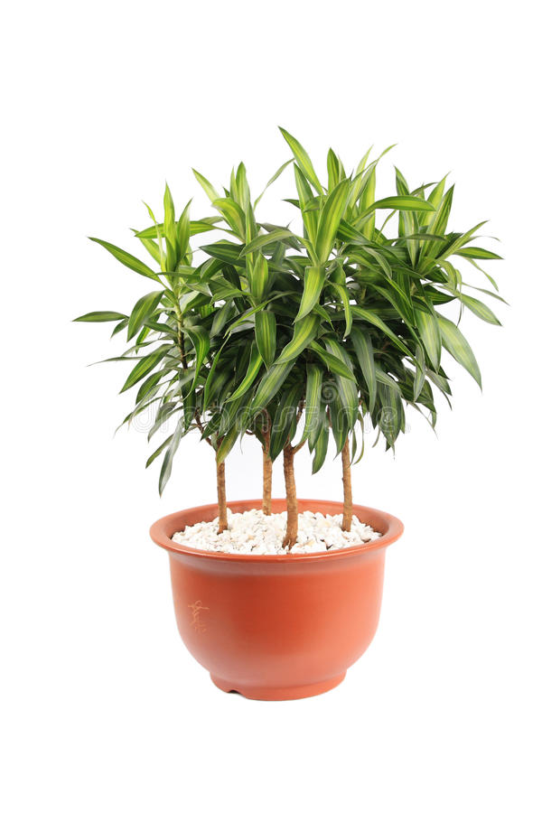 Download Dracaena reflexa stock image. Image of dracaena, tropical - 11460943