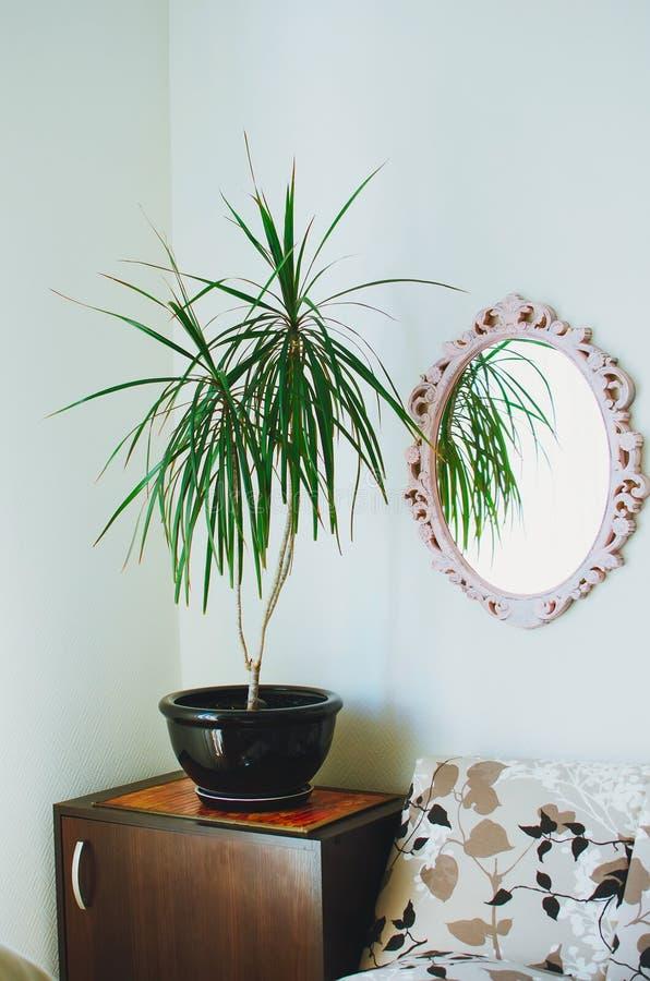 Dracaena reflexa im Topf Ein Spiegel in einem schönen Rahmen hängt an der Wand Moderner Innenraum eines Wohnzimmers stockfotografie