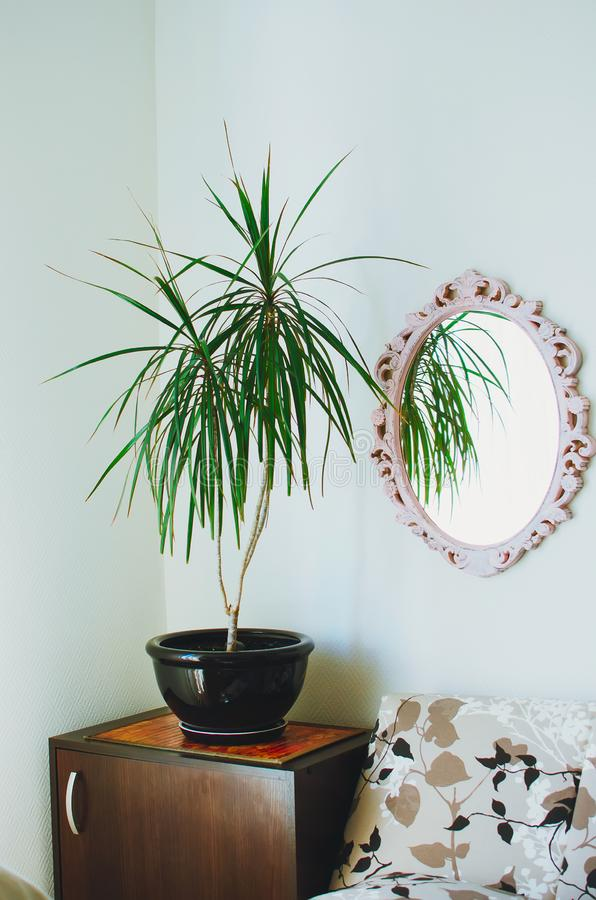 Dracaena reflexa in the pot. A mirror in a beautiful frame hangs on the wall. Modern interior of a living room. Close-up stock photography