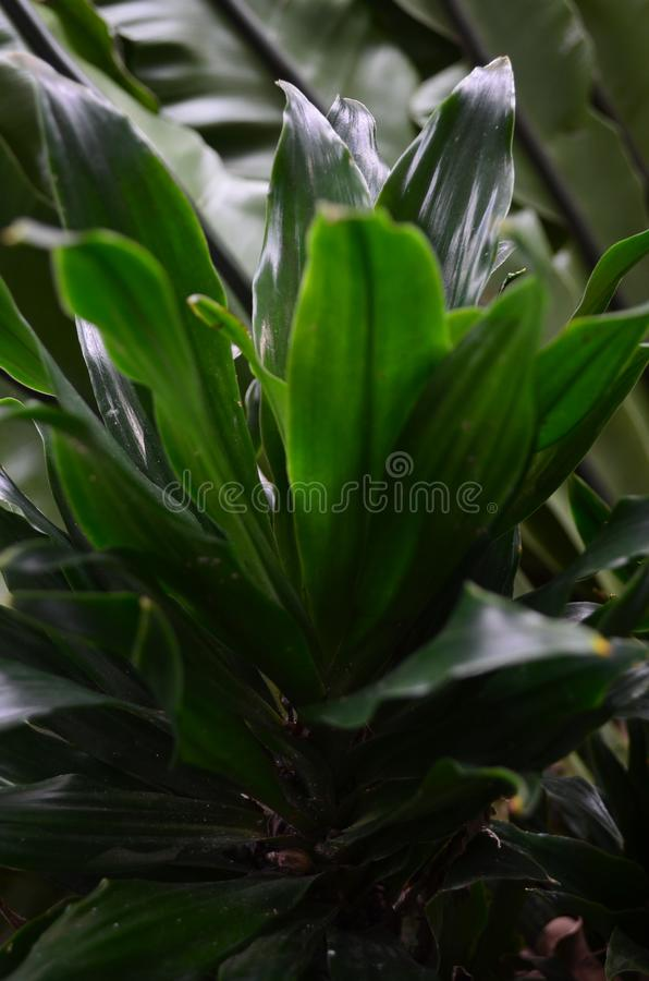 Dracaena is a type of plant that is quite stubborn. Dracaena is a type of plant that is quite stubborn, because it can be placed indoors or outdoors.nnnnn stock image