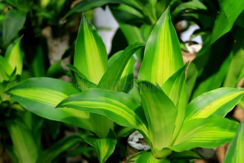 Dracaena verde vívido Fragrans ou planta feliz no jardim tropical fotos de stock