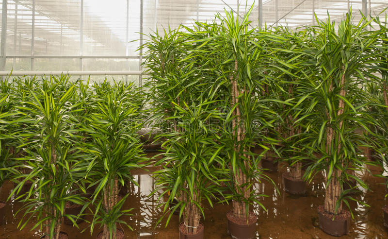 Download Dracaenas In A Hydroculture Plant Nursery Stock Image - Image: 24241671