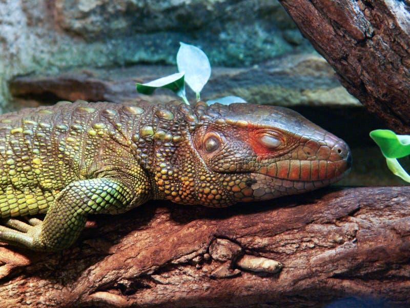 caiman lizard stock photography