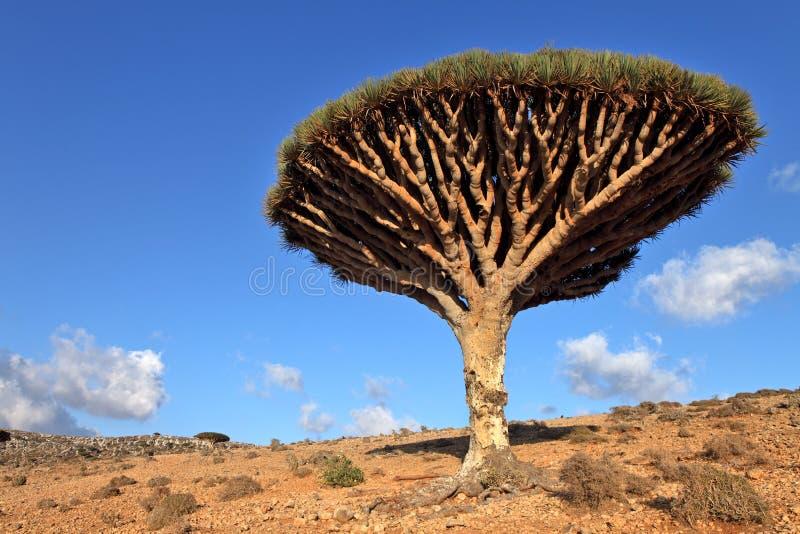 Download Dracene Delle Canarie, Isola Di Socotra, Yemen Immagine Stock - Immagine di endemico, pianta: 30825305