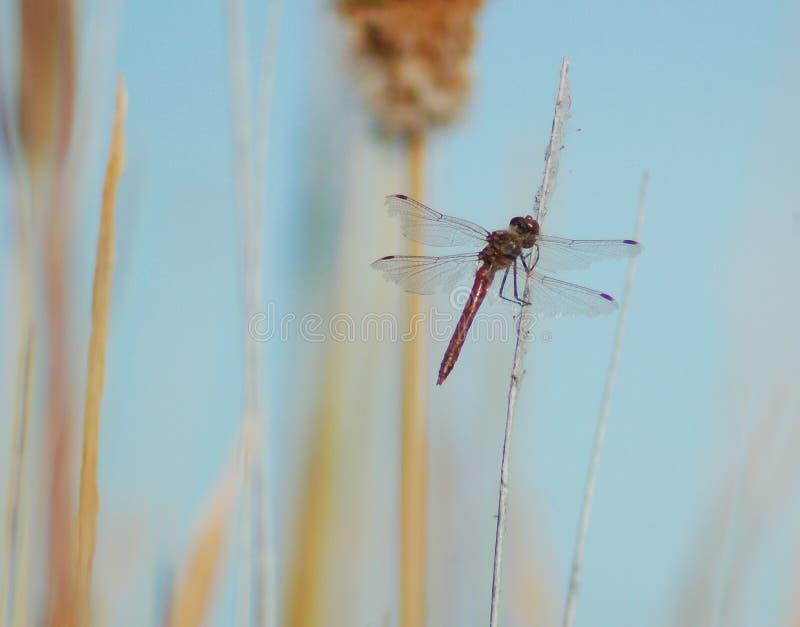 Drache-Fliege lizenzfreies stockfoto