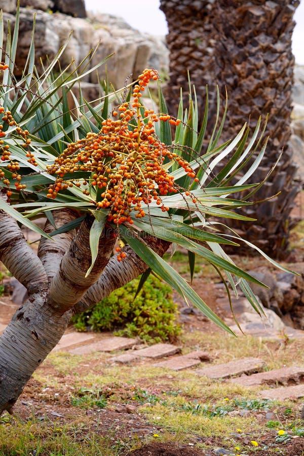 Drachenbaum mit seinem Samen lizenzfreie stockfotos