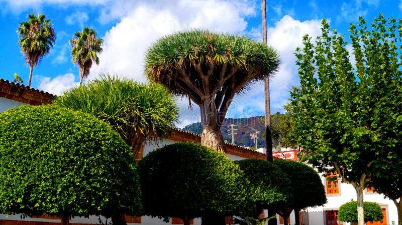 Draco della dracaena della dracena delle Canarie nel centro città di Arucas di Gran Canar fotografia stock libera da diritti