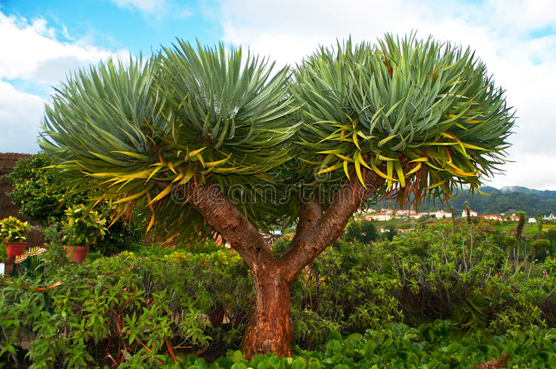 Draco Dracaena (δέντρο Drago ή δράκων) στοκ φωτογραφία