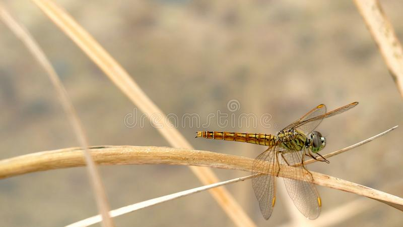 Dradonfly royalty-vrije stock fotografie