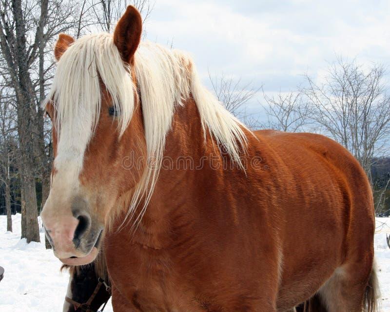 Download Draft Horse stock image. Image of draft, hairy, belgian - 2768171