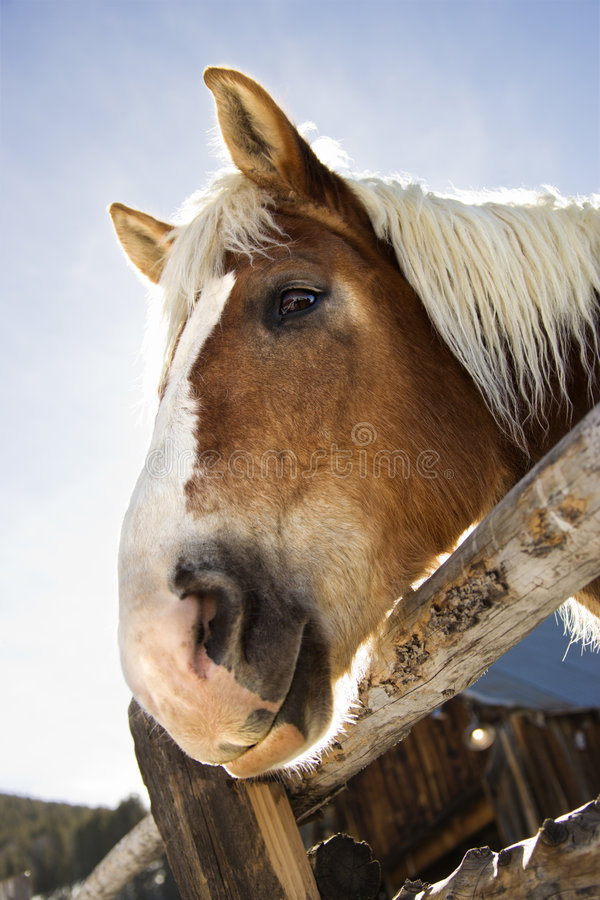 Download Draft horse. stock photo. Image of equestrian, space, 070307q0375 - 2847764