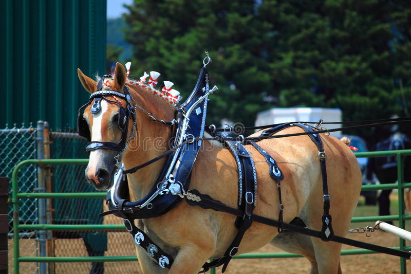 Draft Horse. Competition at Montgomery County Agriculture Fair, Maryland USA stock photography