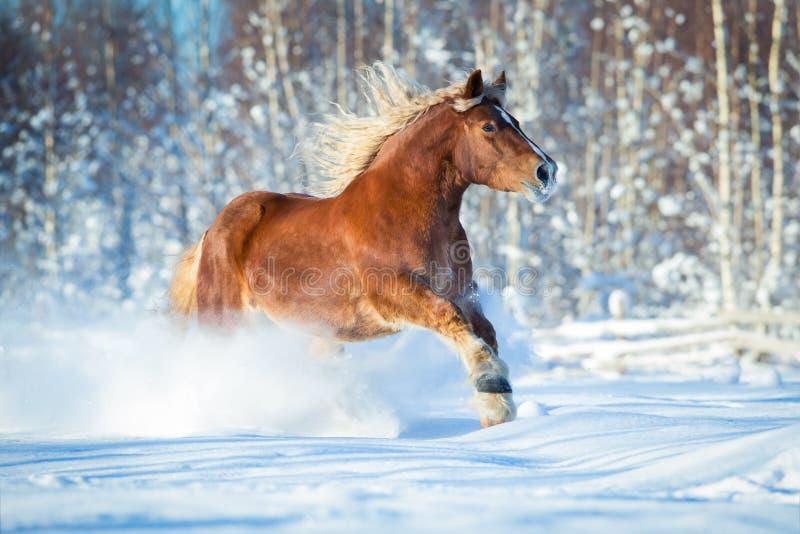 Draft horse gallops on winter background. Draft heavy horse gallops on winter background stock photos