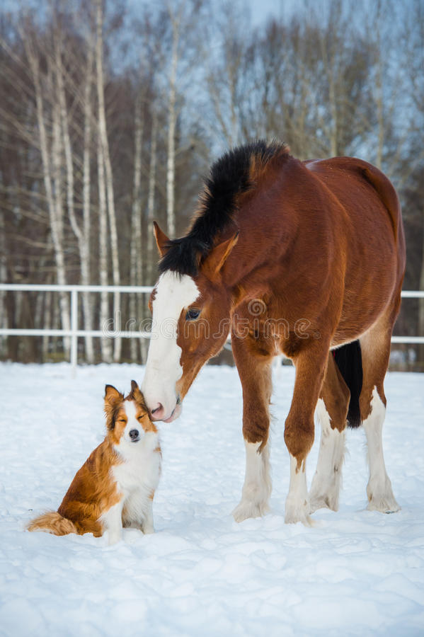 Draft horse and red border collie dog. Draft horse and red dog stock image
