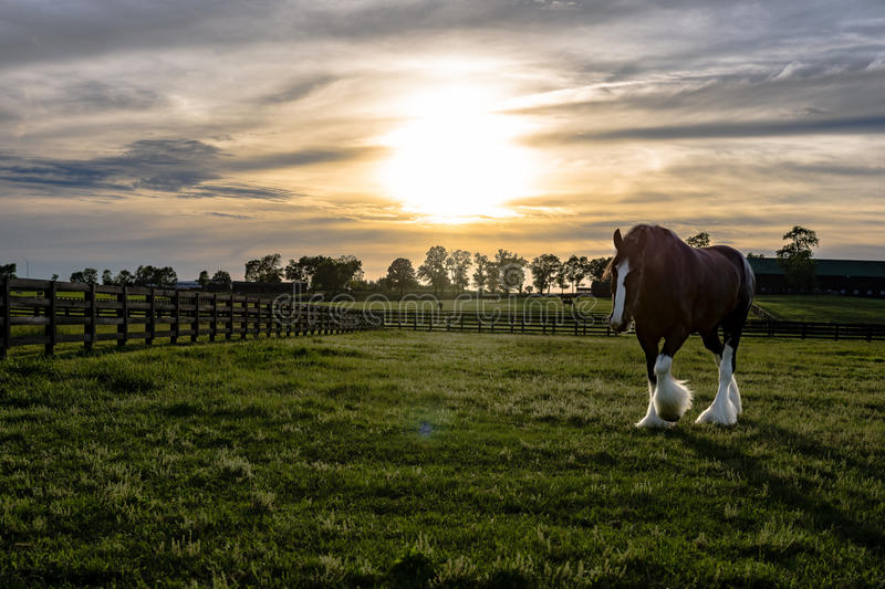 Draft horse walking with sun flare. Draft horse in a Kentucky pasture walking toward the camera with sun flare and sunset sky royalty free stock images
