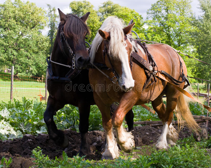 Draft horses. Ploughing in preparation for sowing seed royalty free stock photos