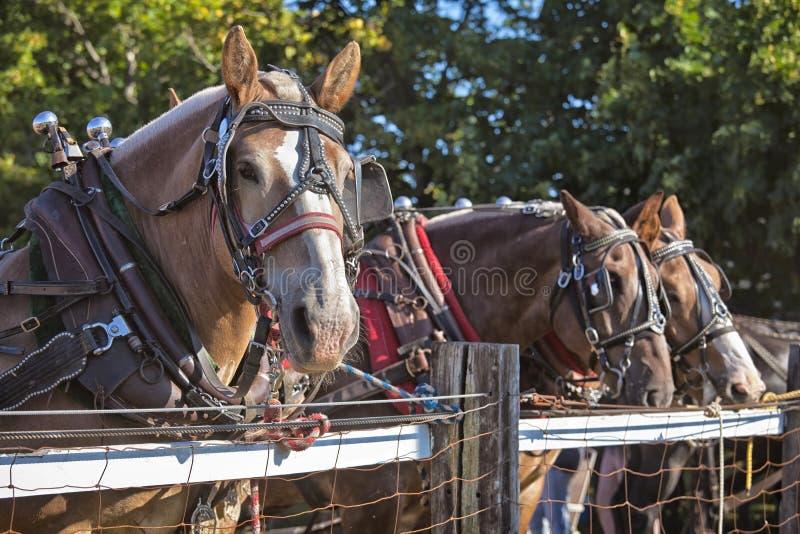Download Draft Horses stock image. Image of halter, alike, pair - 26499423