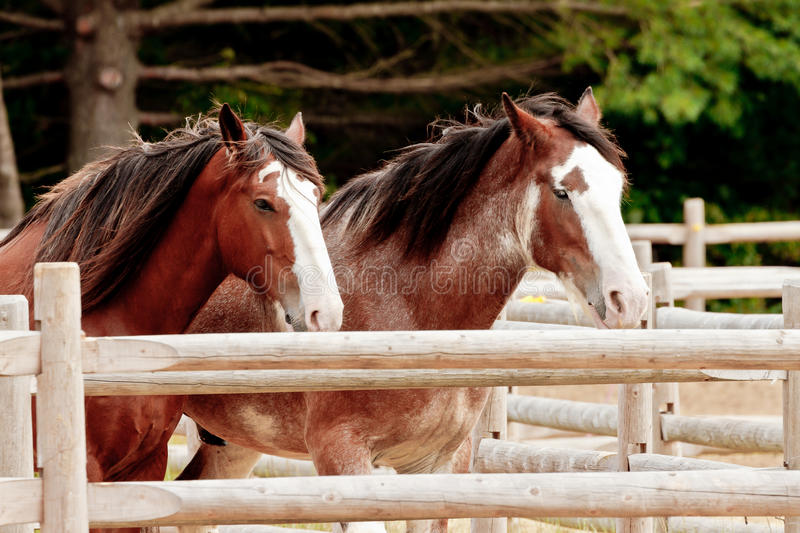 Draft Horses. This image of a pair of draft horses was captured in Maine. The horses are perfectly aligned and they held that pose for a short time, long enough royalty free stock images