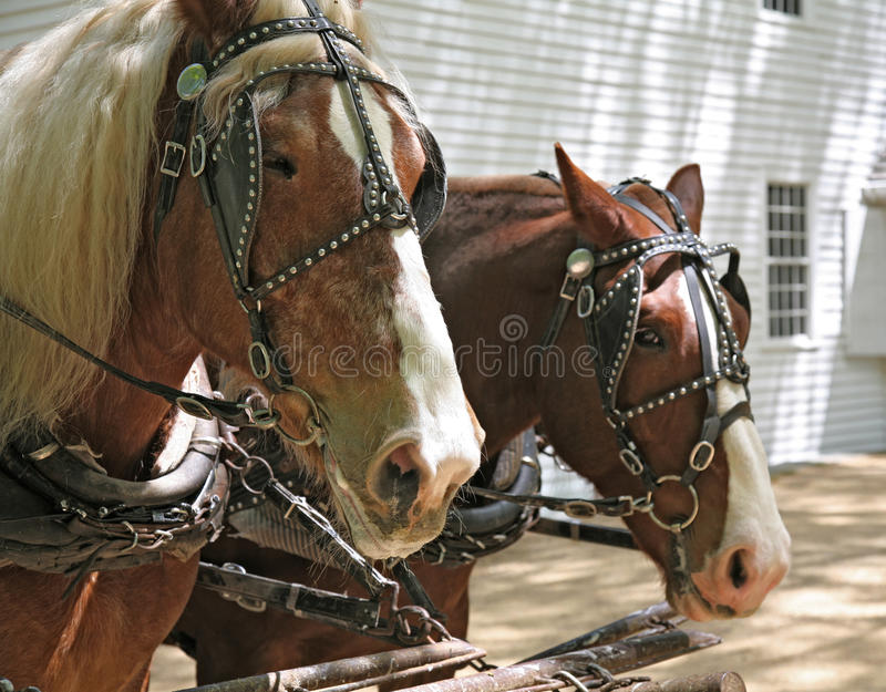Download Pair of draft horses stock image. Image of pulls, looks - 14727751