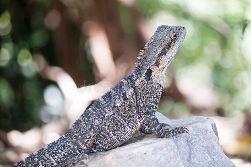 Dragão de água australiano, Queensland, Austrália imagens de stock royalty free