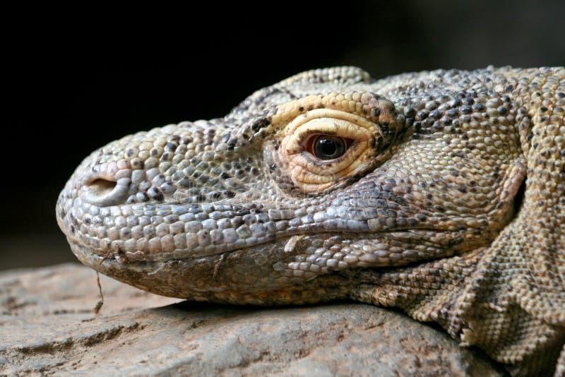Dragão de Komodo fotos de stock royalty free