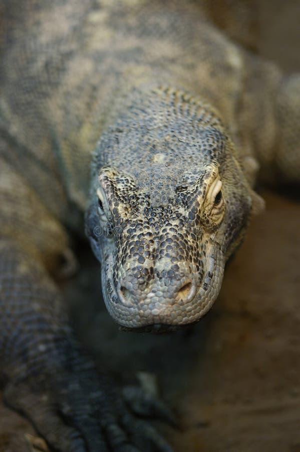 Download Dragão de Komodo imagem de stock. Imagem de dragon, lagarto - 52055